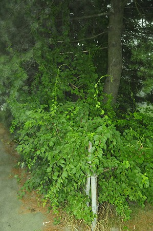 Location: 1524 Forest Avenue, Portland, Maine.   In 2010 I met the owner of this property and expressed my concern for the White Pine trees that line her property just behind the cyclone fencing along this sidewalk. She assured me she was already aware of the problem and sure enough, in the following months I noticed that the bittersweet had been completely removed. But as you can see from this image taken August 2012, the bittersweet is making another run for the tops of the pines.  Please folks, do not be afraid to use herbicide as long as you use it wisely. When I worked in the Everglades as a habitat manager I hated herbicide. But over the years I gradually became aware of its superior effectiveness at selectively controlling and killing certain noxious plants. And Asiatic Bittersweet is a nasty, invasive plant that must be killed wherever we find it. Here, I would sever each stem with a machete or pruner and then carefully apply herbicide to the leaf surfaces that are growing (and still living after I sever the stem) out of the ground side of the plant's stem. I use the Round Up brand that is made for bushes. I believe it is labeled Round Up for Poison Ivy.   On my property it seemed to entirely kill the Asiatic Bittersweet when I applied it in 2010. I was very impressed at how quickly it killed the bittersweet and that the bittersweet did not recover by the following Spring. However, I knew that within the next few years I would see some small evidences of the plant coming back. And I did in Spring-Summer 2012. But the few little bittersweet plants I also killed then were not anywhere near the stature of the plants that I killed in 2010. I am telling you with all sincerity that herbicide (following the severing of the plant's connection to the soil) may well be the best and only way to effectively deal with an exotic plant that is as invasive as Asiatic Bittersweet.