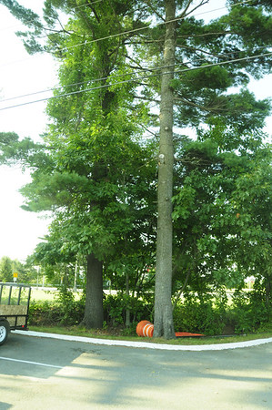"Holiday Inn, Riverside St., Portland, Maine.    A very large ABS is in the very slow process of killing the Eastern White Pine that is on the left.  See more pictures in this gallery of this location.  Based on everything I have seen, unless the Asiatic Bittersweet here is eradicated (permanently) it is just a matter of time before it kills these big, beautiful, native trees. As I recall, there are two very large Eastern White Pines and a young (about 8""-10"" diameter) Northern Red Oak here.   Commercial land owners seem to be unaware of, or unconcerned with, the value of native trees on their commercial property. These trees add value to the property. Ok, maybe that value has never been assessed, but consider what the property looks like with these healthy trees as opposed to no trees, especially if they are maintained and valued. Maintaining trees is not expensive. Removing them is very expensive.  If they really were paying attention they would realize that it is going to cost a lot of money to fell and remove these trees when they die. If the ABS vine is left to live its life history, the premature death of these trees seems certain."