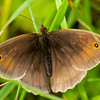 Meadow Brown - Olympus E3, Zuiko 70-300mm, 1/100 sec at f7.1, ISO 200