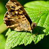 Speckled Wood - Olympus E3, Zuiko 70 - 300mm, 1/200 sec at f8, ISO 200