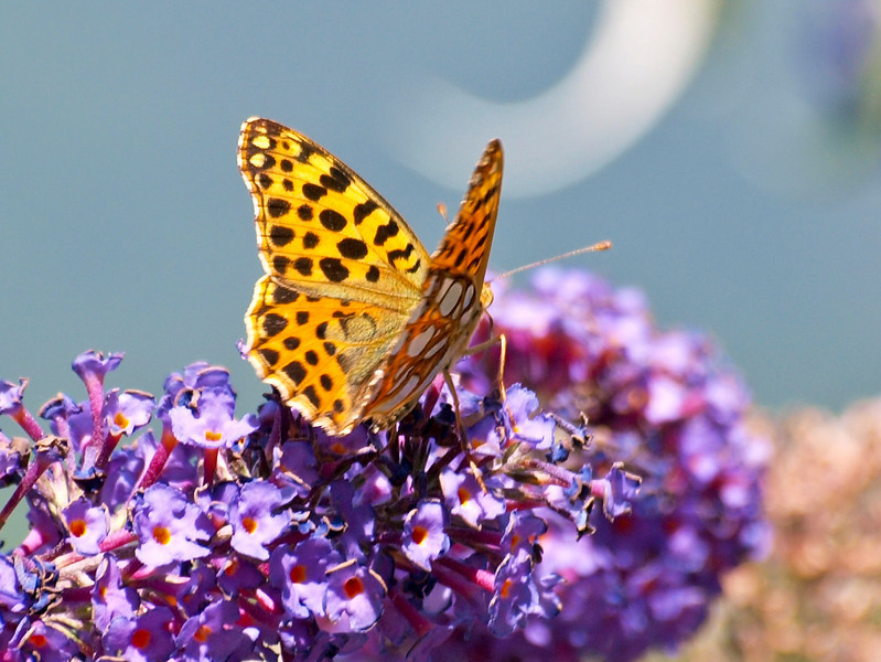 Queen of Spain Fritillary - Olympus E3, Zuiko 70-300mm, 1/250 sec at f7.1, ISO 200