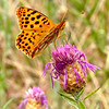Queen of Spain Fritillary - Olympus E3, Zuiko 12-60mm, 1/200 sec at f14, ISO 1000