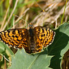 Heath Fritillary - Olympus E3, Zuiko 70-300mm, 1/640 sec at f6.3, ISO 200
