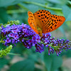 Silver-washed Fritillary - Olympus E3, Zuiko 12-60mm, 1/320 sec at f6.3, ISO 1600