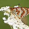 Spotted Fritillary- Olympus E3, Zuiko 70-300mm, 1/250 sec at f6.3, ISO 320