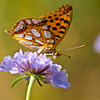 Queen of Spain Fritillary - Olympus E3, Zuiko 70-300mm, 1/640 sec at f6.3, ISO 200