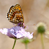 Spotted Fritillary - Olympus E3, Zuiko 70-300mm, 1/320 sec at f6.3, ISO 200