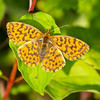 Queen of Spain Fritillary - Olympus E3, Zuiko 70-300mm, 1/400 sec at f6.3, ISO 320