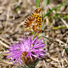 Small Pearl-Bordered Fritillay - Olympus E3, Zuiko 70-300mm, 1/320 sec at f7.1, ISO 200