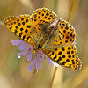 Queen of Spain Fritillary - Olympus E3, Zuiko 70-300mm, 1/400 sec at f6.3, ISO 200