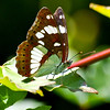 Southern White Admiral - Olympus E3, Zuiko 70-300mm, 1/400 sec at f6.3, ISO 200