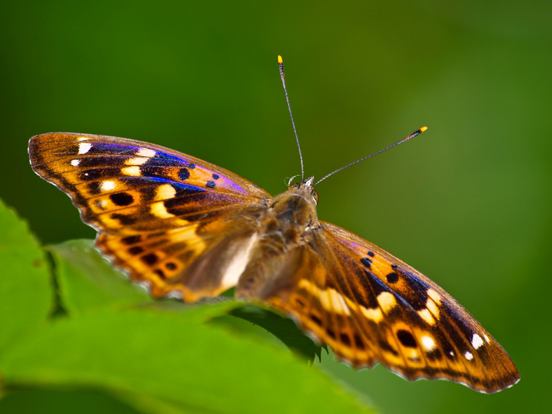 Lesser Purple Emperor - Olympus E3, Zuiko 70-300mm, 1/500 sec at f6.3, ISO 200
