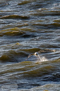 Gull over the Pamlico Sound on a windy morning.