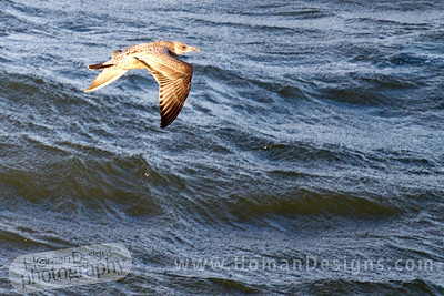 Bird over the Pamlico Sound on a windy morning.