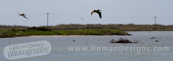 Pelicans at Pea Island.