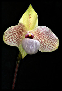 Lady slippers; Paphiopedilum