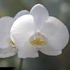 Phalaenopsis ;Moth Orchids