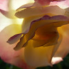 Evening sunlight through pink-yellow rose petals<br /> July 20, 2011