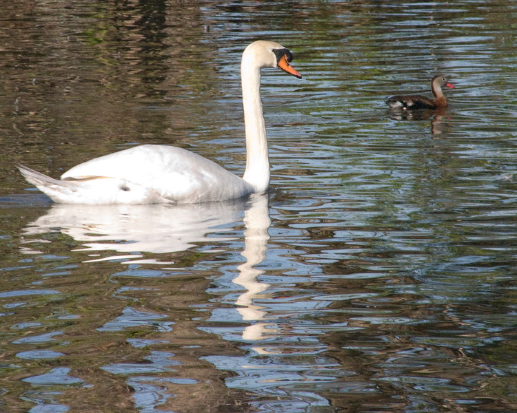 Swan and duck in ripples