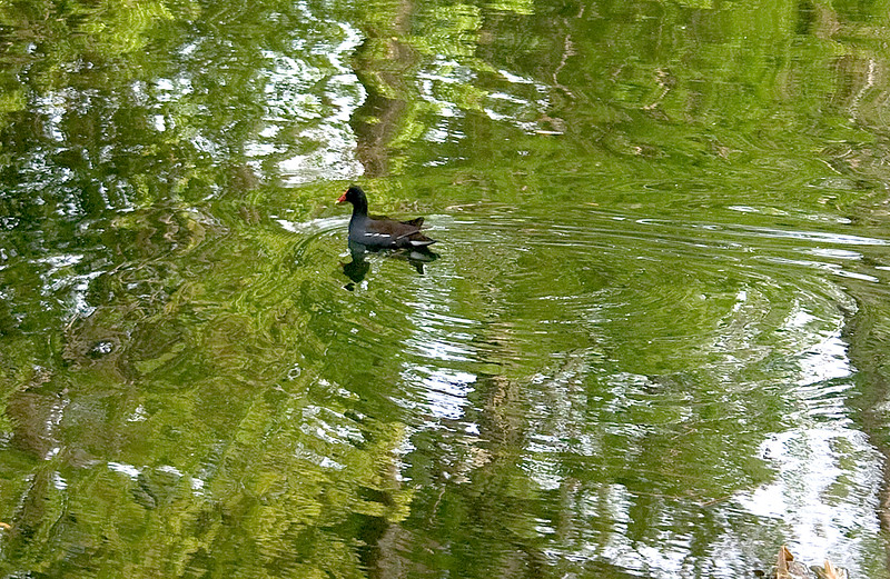 Moor Hen in green circles and ripples