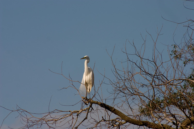 Great Egret guarding the park!