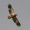 This juvenile Bald Eagle made several passes during the day and spooked the ducks each time.