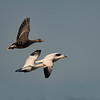 Ross's and Greater White-fronted Geese