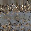 Mixed ducks