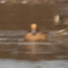 Eurasian  Wigeon composite  ID photo. The duck was way out so the photo is not very good. I hope to get a better shot.