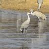 Sandhill Cranes on ice