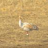 Latka Whooping Crane juvenile