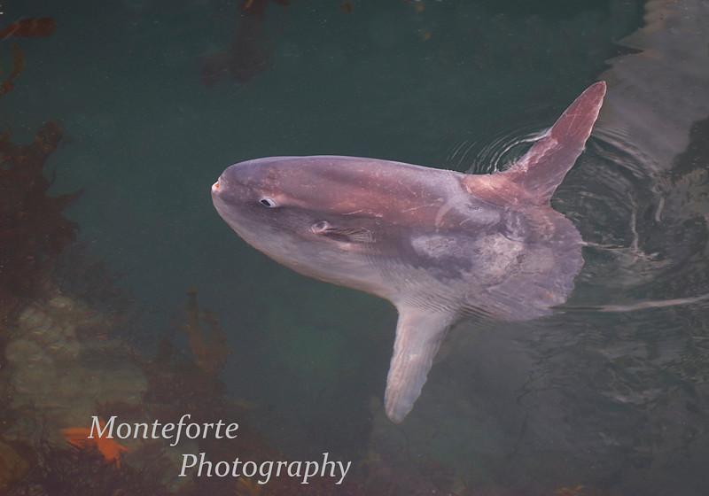 Ocean Sunfish or Mola Mola