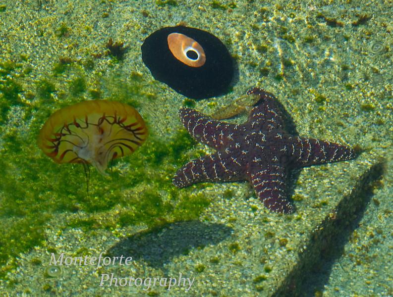 Jelly, Mullusk, Kelp Fish and Sea Star.