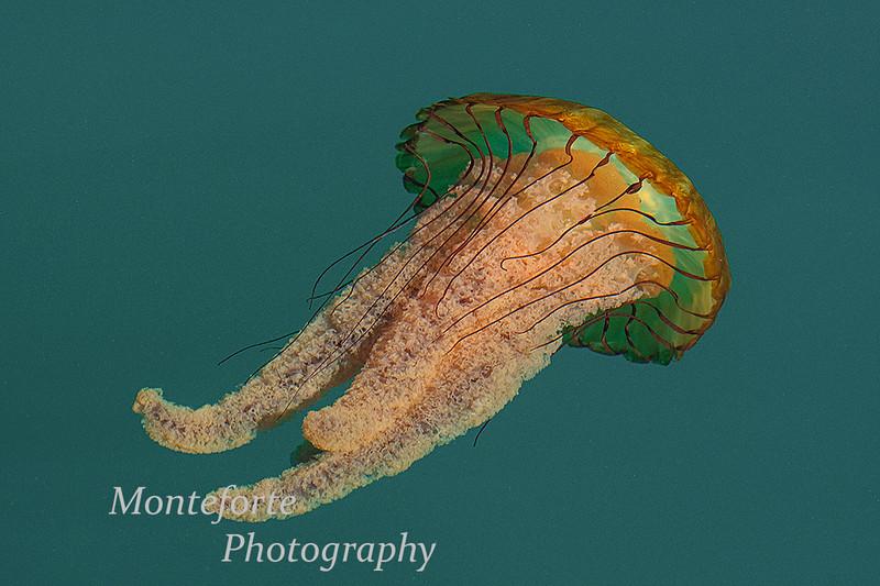Brown sea nettle