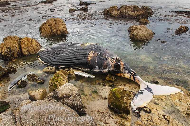 Humpback whale carcass on beach at Pebble beach Ca