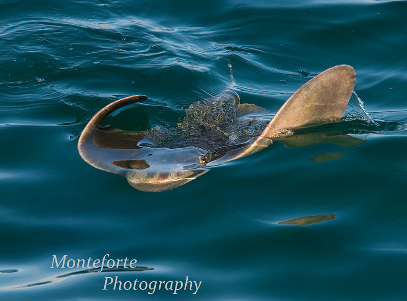 Bat Ray, Monterey Ca