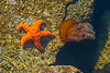 Sea Star and Sea Nettle