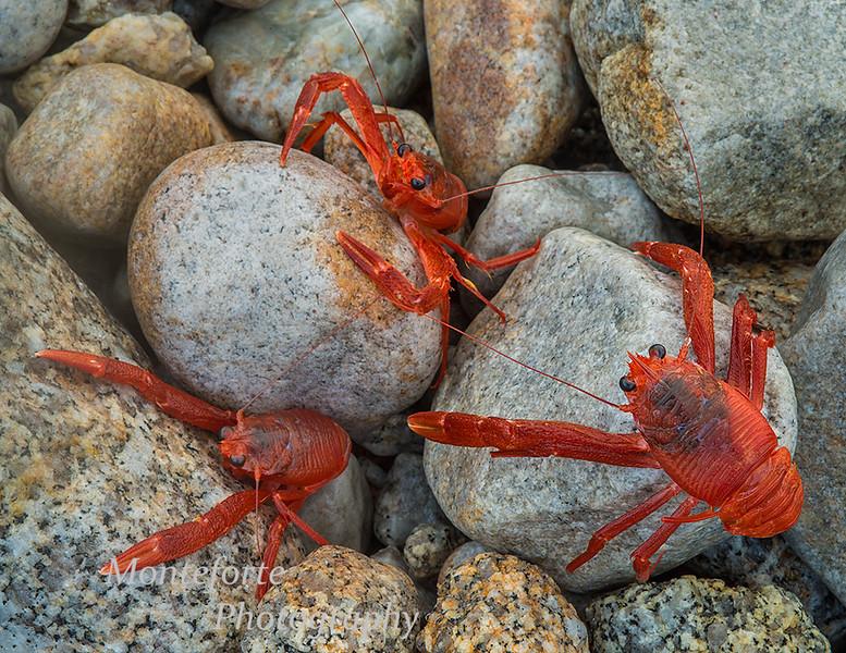 Pelagic crabs