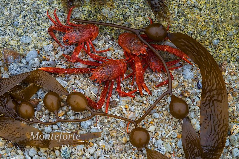 Pelagic crabs Asilomar Beach Pacific Grove Ca