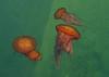 Brown sea nettles