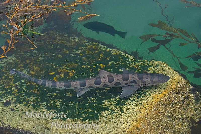 Lepord shark Triakis semifasciata