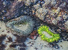 Sea Anemones in tide pool.