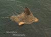 Bat Ray-Myliobatis californica- Monterey california