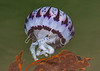 Purple Striped Jellyfish Chrysaora colorata