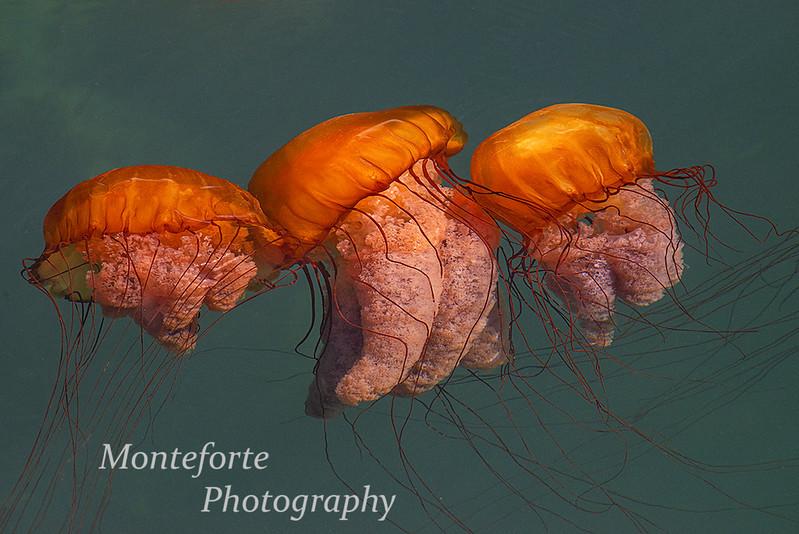 Sea Nettles Monterey Harbor
