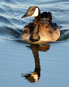 Canada Goose - Reflection