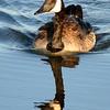 Canada Goose - Reflection