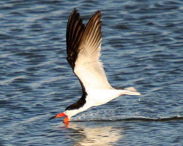 Black Skimmer skimming
