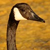 Canada Goose - Head shot