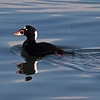 Surf Scoter at Alamitos Bay - 1 Jan 2011